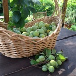Raccolta di prugne Regina Claudia a Casa Giacconi Bed and Breakfast a Asso, vicino al Lago di Como