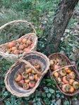 Il raccolto dell'albero di cachi a Casa Giacconi Bed and Breakfast a Asso, vicino al Lago di Como