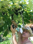 Raccolta dell'uva fragola a Casa Giacconi Bed and Breakfast a Asso, vicino al Lago di Como
