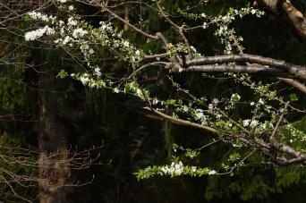 Susino in fiore e ramo di faggio non ancora sbocciato a casa Giacconi B&B