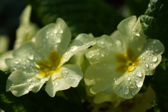 Anche le primule sono fiori da mangiare!