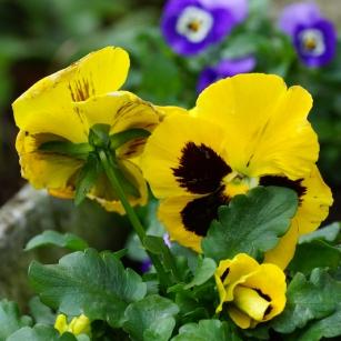 Fiori eduli : viole tricolor e viola cornuta